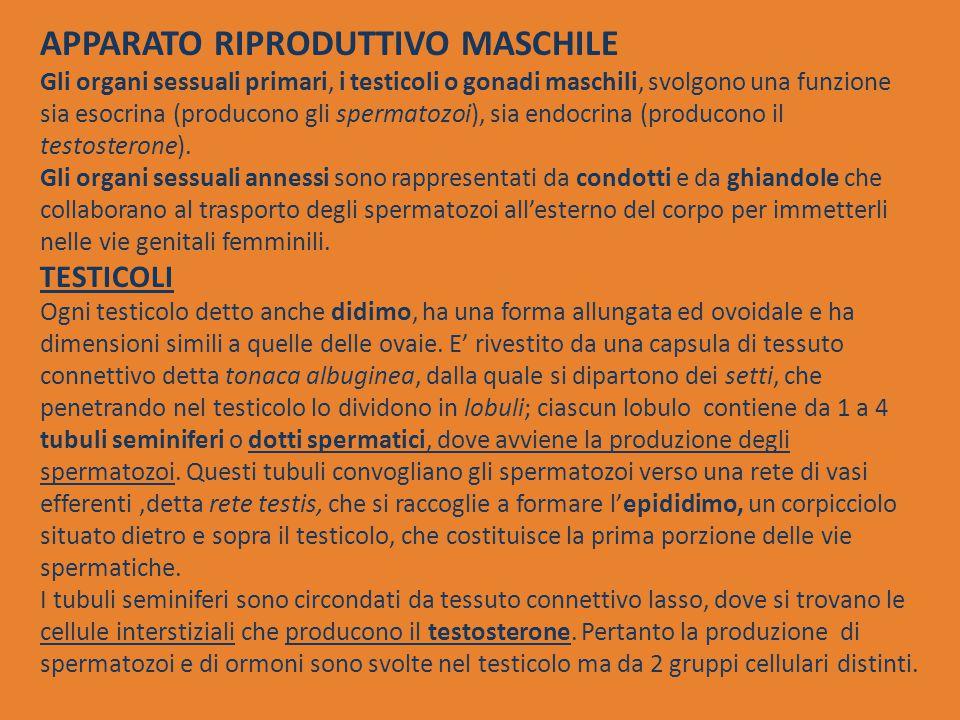 APPARATO RIPRODUTTIVO MASCHILE Gli organi sessuali primari, i testicoli o gonadi maschili, svolgono una funzione sia esocrina (producono gli spermatozoi), sia endocrina (producono il testosterone).