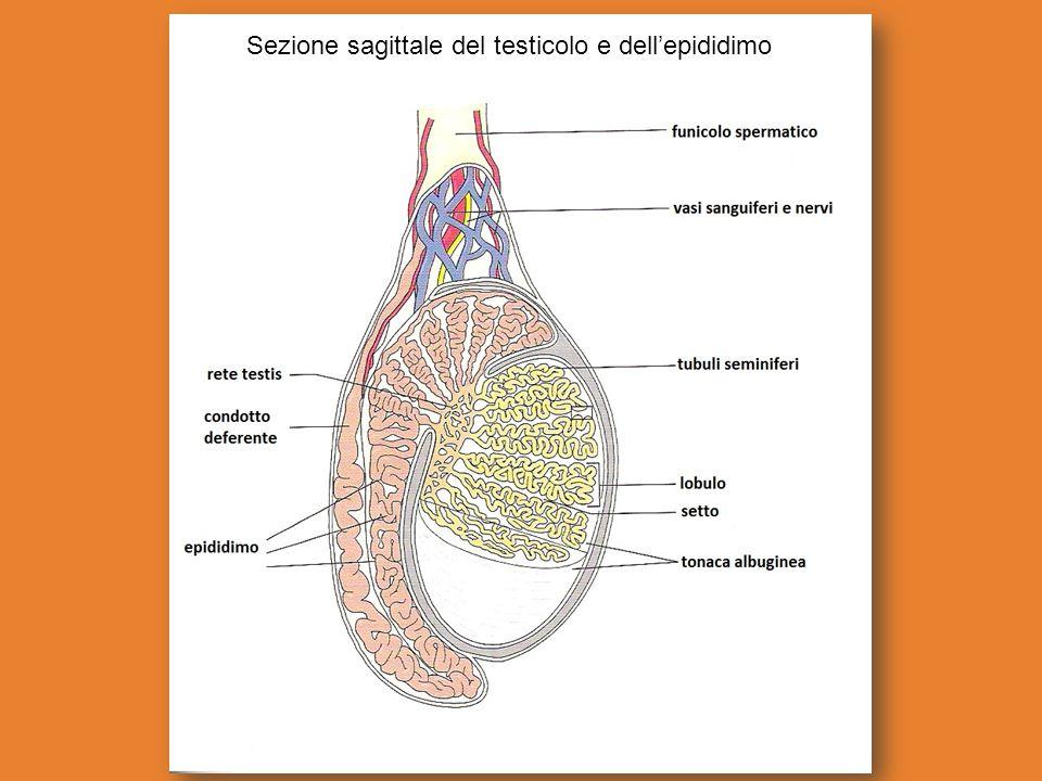 Sezione sagittale del testicolo e dell'epididimo