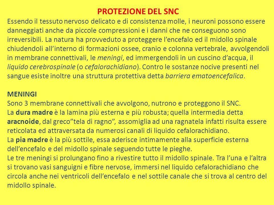 PROTEZIONE DEL SNC Essendo il tessuto nervoso delicato e di consistenza molle, i neuroni possono essere danneggiati anche da piccole compressioni e i