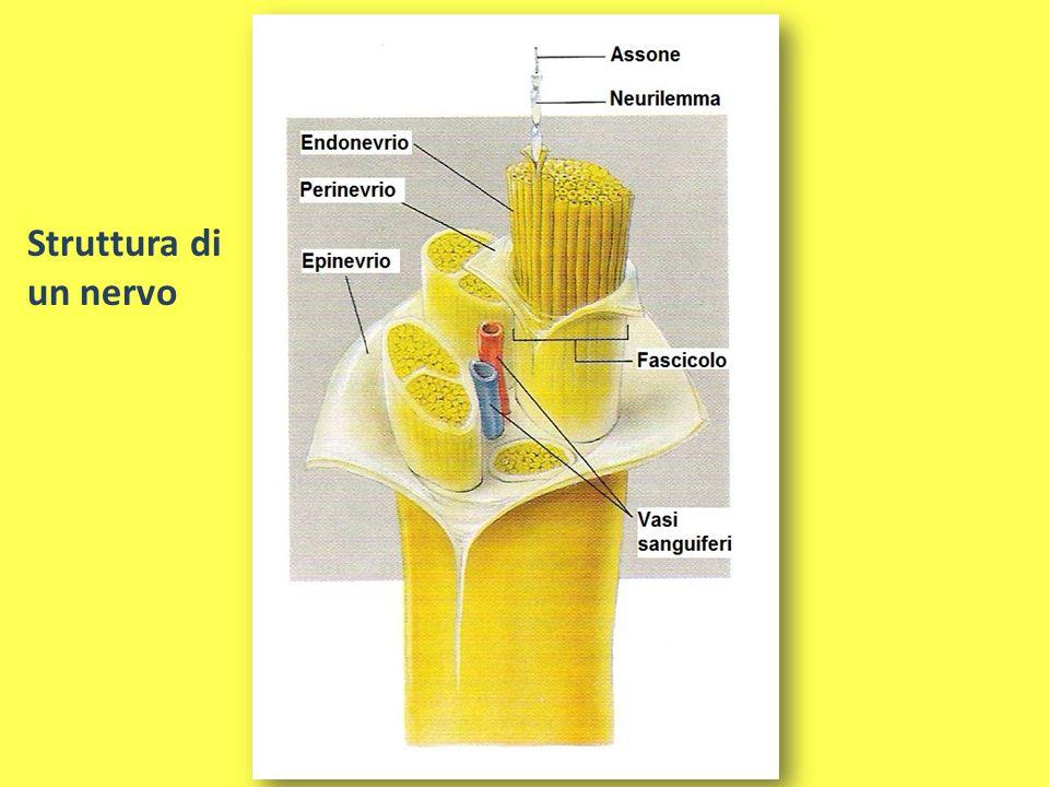 Struttura di un nervo