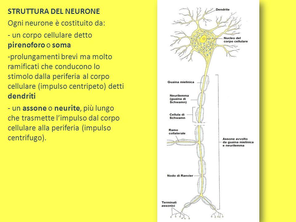 STRUTTURA DEL NEURONE Ogni neurone è costituito da: - un corpo cellulare detto pirenoforo o soma -prolungamenti brevi ma molto ramificati che conducon