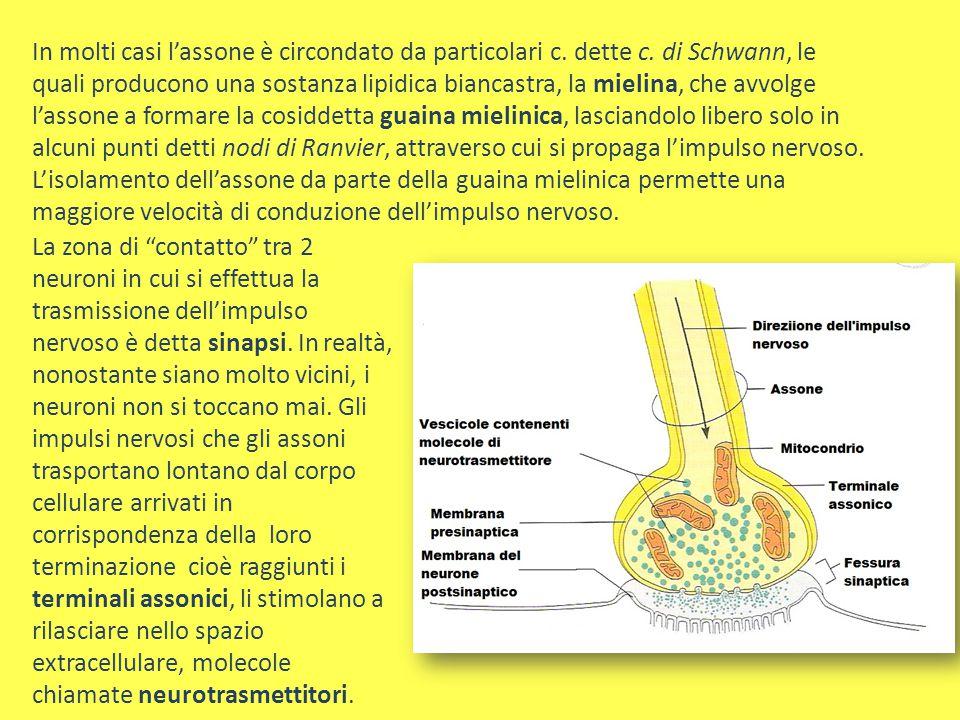 In molti casi l'assone è circondato da particolari c. dette c. di Schwann, le quali producono una sostanza lipidica biancastra, la mielina, che avvolg