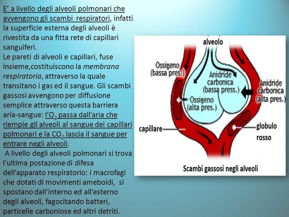 E' a livello degli alveoli polmonari che avvengono gli scambi respiratori, infatti la superficie esterna degli alveoli è rivestita da una fitta rete d