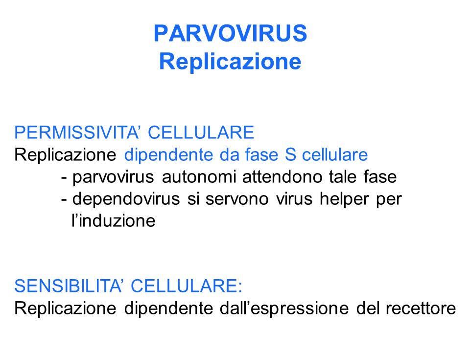 PARVOVIRUS Replicazione PERMISSIVITA' CELLULARE Replicazione dipendente da fase S cellulare - parvovirus autonomi attendono tale fase - dependovirus s