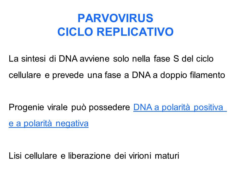 PARVOVIRUS CICLO REPLICATIVO La sintesi di DNA avviene solo nella fase S del ciclo cellulare e prevede una fase a DNA a doppio filamento Progenie vira