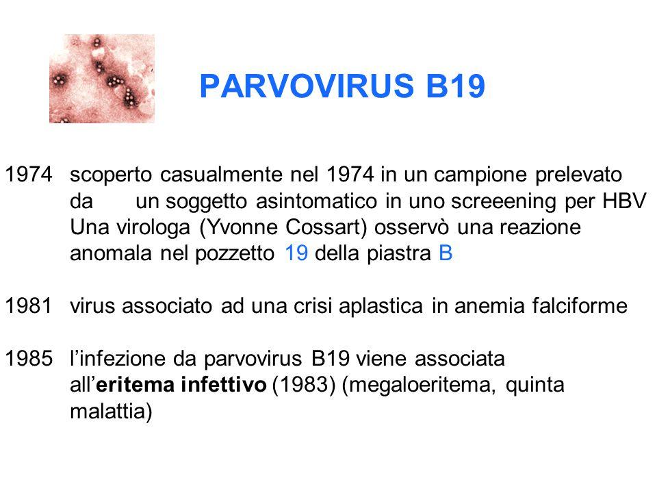 PARVOVIRUS B19 1974scoperto casualmente nel 1974 in un campione prelevato da un soggetto asintomatico in uno screeening per HBV Una virologa (Yvonne C
