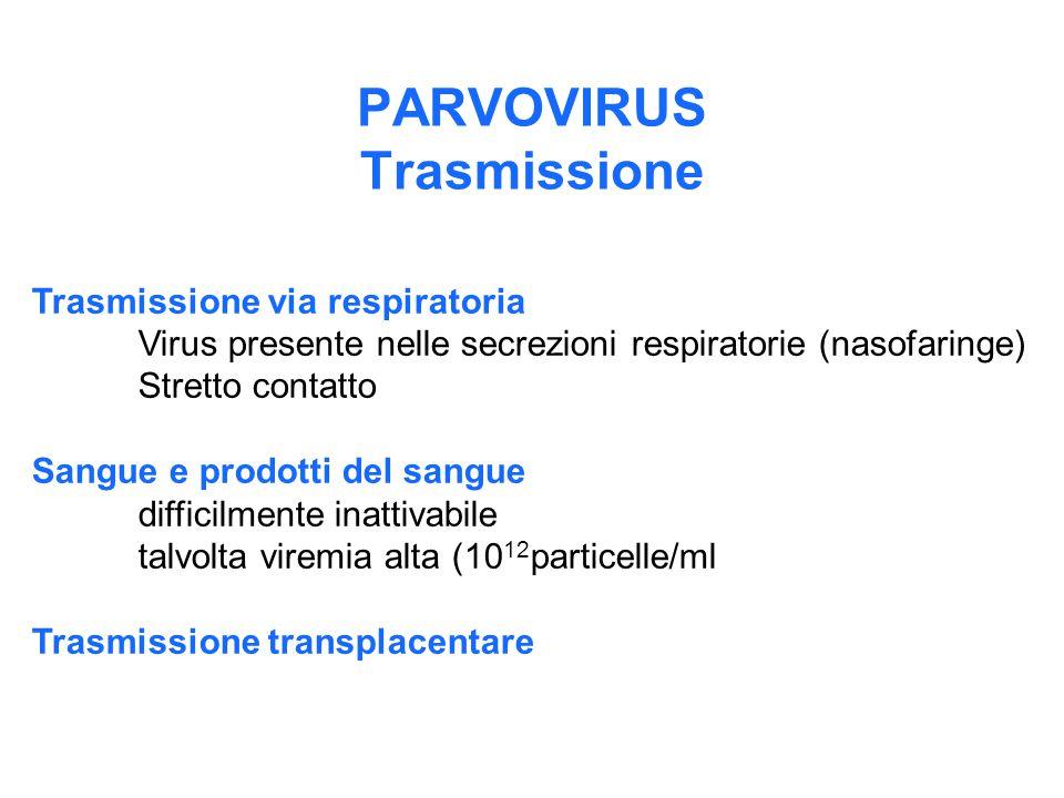 PARVOVIRUS Trasmissione Trasmissione via respiratoria Virus presente nelle secrezioni respiratorie (nasofaringe) Stretto contatto Sangue e prodotti de