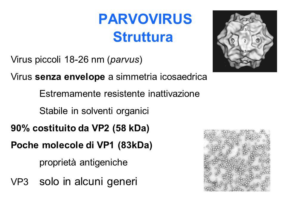 PARVOVIRUS Struttura Virus piccoli 18-26 nm (parvus) Virus senza envelope a simmetria icosaedrica Estremamente resistente inattivazione Stabile in sol