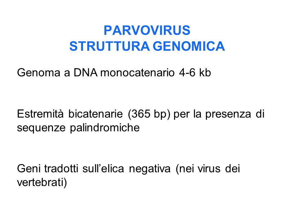 PARVOVIRUS STRUTTURA GENOMICA Genoma a DNA monocatenario 4-6 kb Estremità bicatenarie (365 bp) per la presenza di sequenze palindromiche Geni tradotti