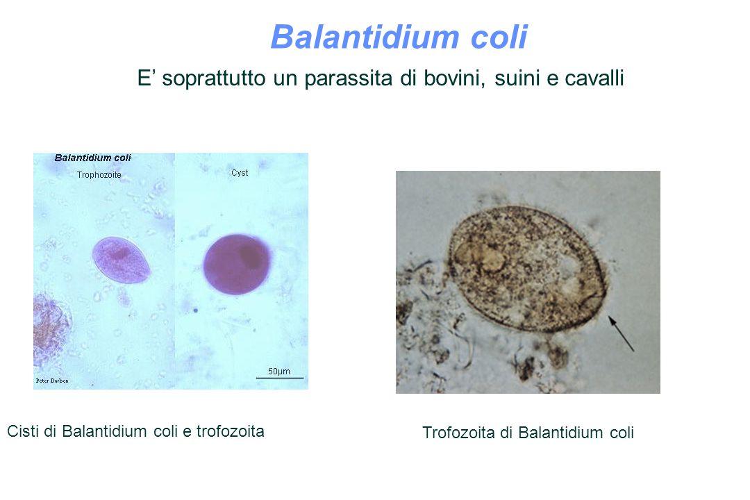 Balantidium coli Balantidium coli trophozoites.
