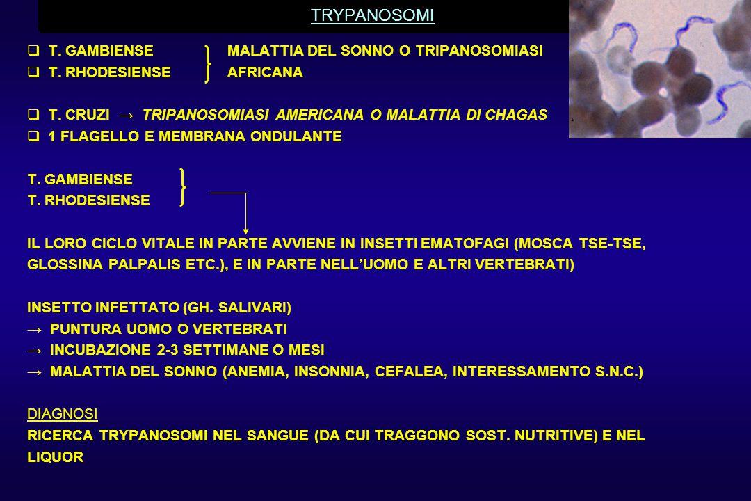 TRYPANOSOMI  T. GAMBIENSE MALATTIA DEL SONNO O TRIPANOSOMIASI  T. RHODESIENSEAFRICANA  T. CRUZI → TRIPANOSOMIASI AMERICANA O MALATTIA DI CHAGAS  1