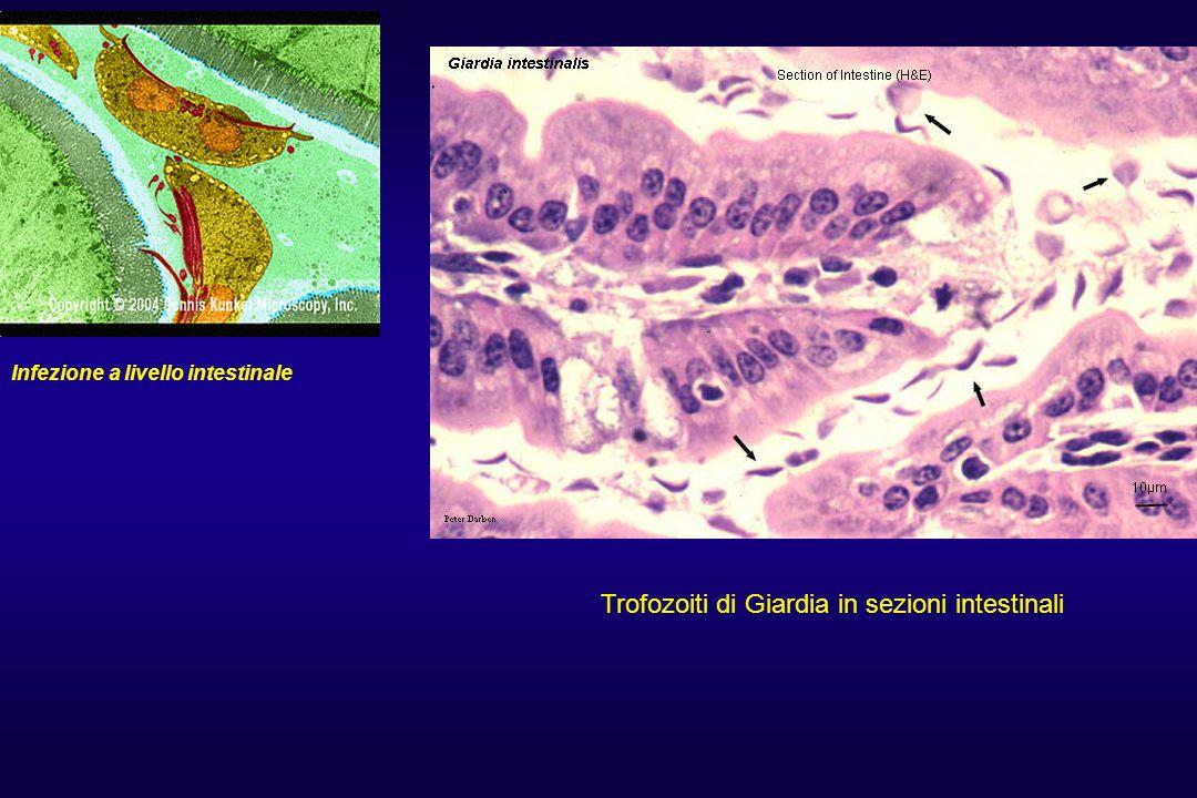 Infezione a livello intestinale Trofozoiti di Giardia in sezioni intestinali