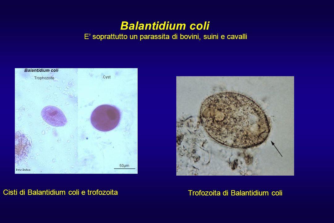 Balantidium coli Balantidium coli trophozoites. Cisti di Balantidium coli e trofozoita E' soprattutto un parassita di bovini, suini e cavalli Trofozoi