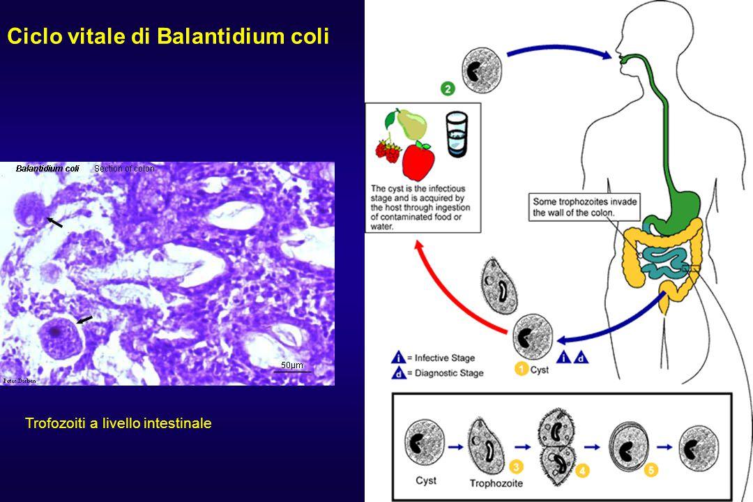 Ciclo vitale di Balantidium coli Trofozoiti a livello intestinale