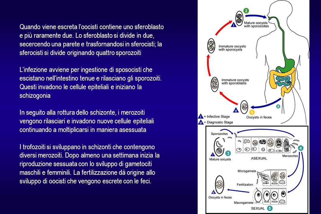 Quando viene escreta l'oocisti contiene uno sferoblasto e più raramente due. Lo sferoblasto si divide in due, secercendo una parete e trasfornandosi i