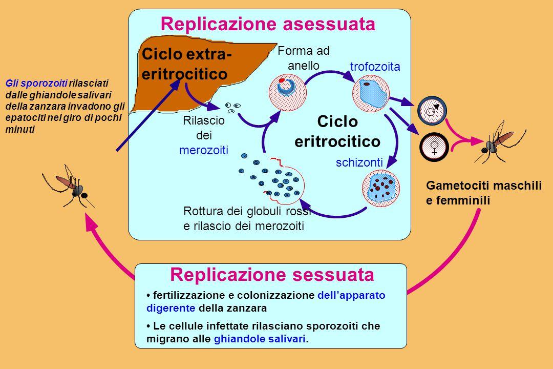 Replicazione asessuata fertilizzazione e colonizzazione dell'apparato digerente della zanzara Le cellule infettate rilasciano sporozoiti che migrano alle ghiandole salivari.
