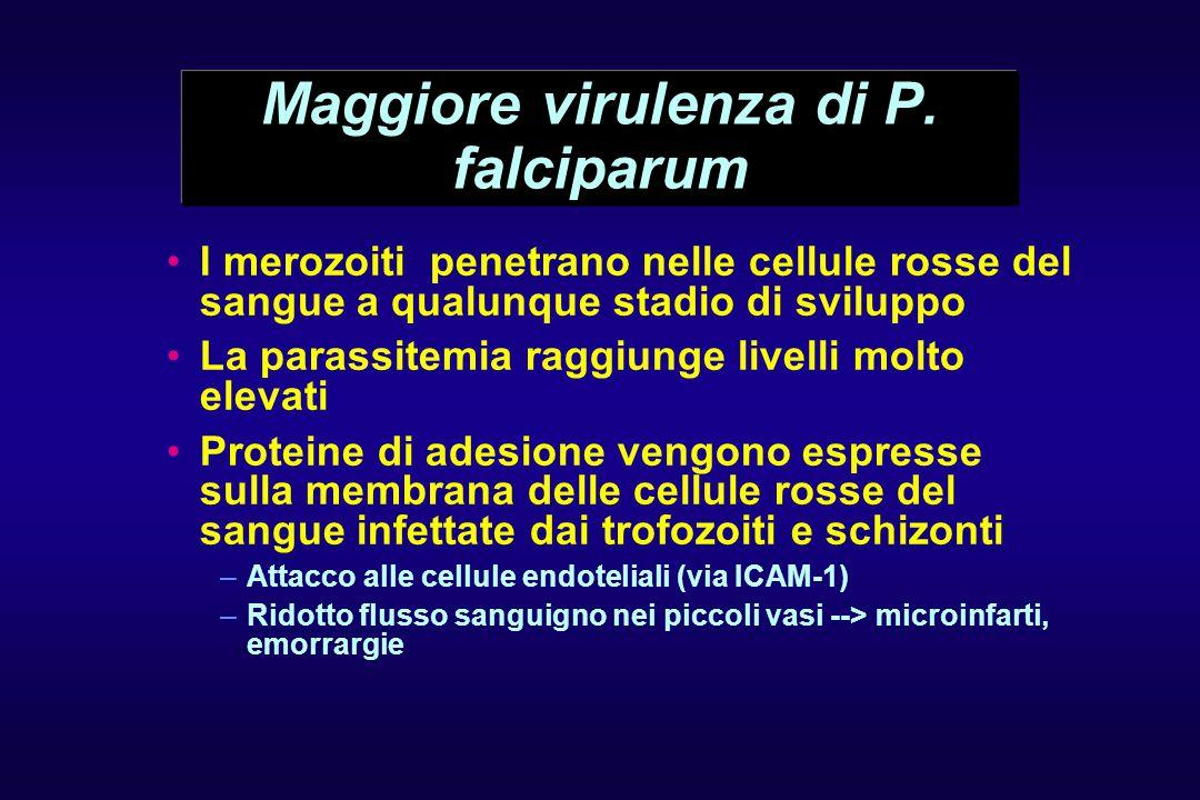Maggiore virulenza di P. falciparum I merozoiti penetrano nelle cellule rosse del sangue a qualunque stadio di sviluppo La parassitemia raggiunge live