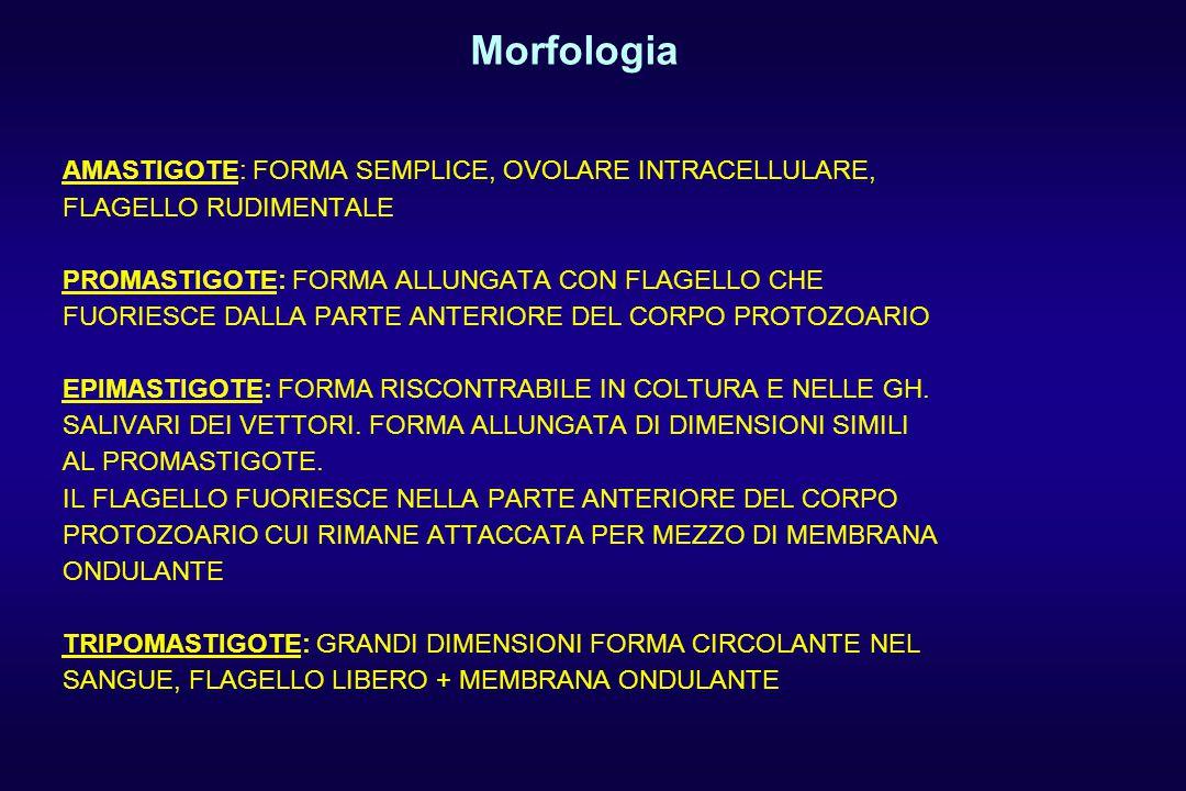AMASTIGOTE: FORMA SEMPLICE, OVOLARE INTRACELLULARE, FLAGELLO RUDIMENTALE PROMASTIGOTE: FORMA ALLUNGATA CON FLAGELLO CHE FUORIESCE DALLA PARTE ANTERIORE DEL CORPO PROTOZOARIO EPIMASTIGOTE: FORMA RISCONTRABILE IN COLTURA E NELLE GH.