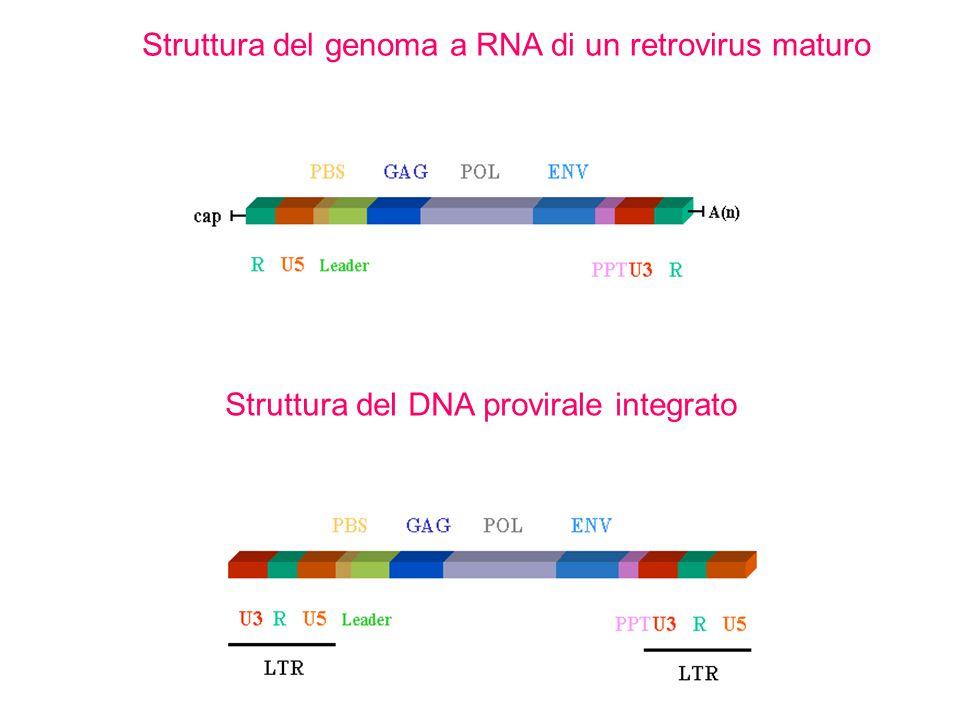 Struttura del genoma a RNA di un retrovirus maturo Struttura del DNA provirale integrato