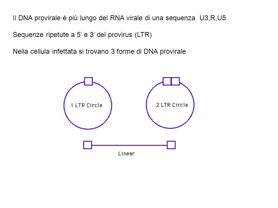 Il DNA provirale è più lungo del RNA virale di una sequenza U3,R,U5 Sequenze ripetute a 5' e 3' del provirus (LTR) Nella cellula infettata si trovano 3 forme di DNA provirale