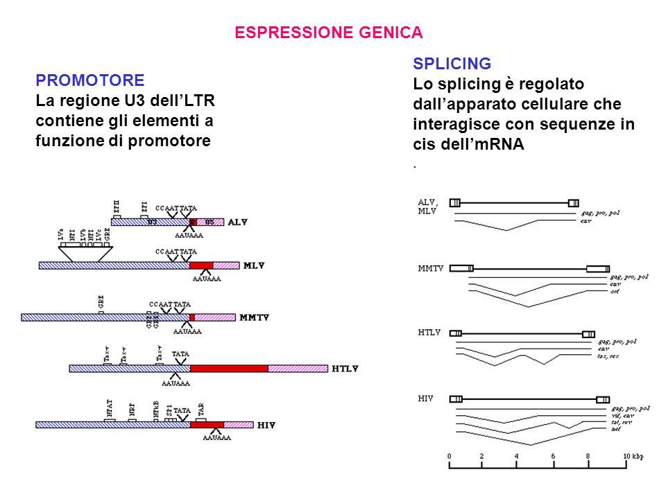 ESPRESSIONE GENICA PROMOTORE La regione U3 dell'LTR contiene gli elementi a funzione di promotore SPLICING Lo splicing è regolato dall'apparato cellulare che interagisce con sequenze in cis dell'mRNA.