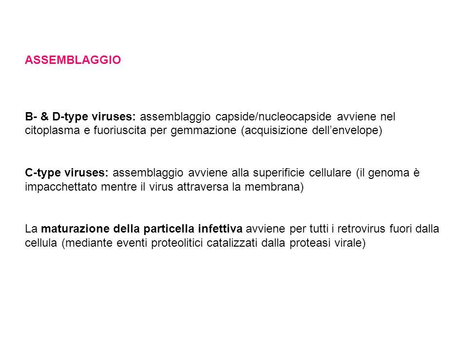 ASSEMBLAGGIO B- & D-type viruses: assemblaggio capside/nucleocapside avviene nel citoplasma e fuoriuscita per gemmazione (acquisizione dell'envelope) C-type viruses: assemblaggio avviene alla superificie cellulare (il genoma è impacchettato mentre il virus attraversa la membrana) La maturazione della particella infettiva avviene per tutti i retrovirus fuori dalla cellula (mediante eventi proteolitici catalizzati dalla proteasi virale)