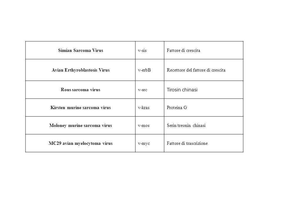 Simian Sarcoma Virusv-sisFattore di crescita Avian Erthyroblastosis Virusv-erbBRecettore del fattore di crescita Rous sarcoma virusv-src Tirosin chinasi Kirsten murine sarcoma virusv-krasProteina G Moloney murine sarcoma virusv-mosSerin/treonin chinasi MC29 avian myelocytoma virusv-mycFattore di trascrizione