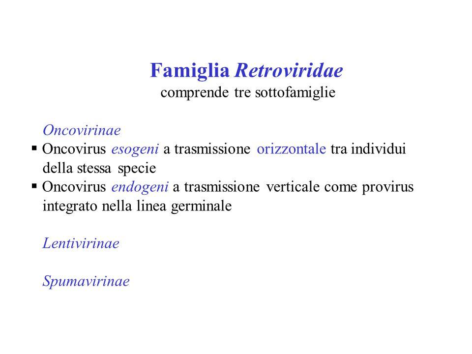 Famiglia Retroviridae comprende tre sottofamiglie Oncovirinae  Oncovirus esogeni a trasmissione orizzontale tra individui della stessa specie  Oncovirus endogeni a trasmissione verticale come provirus integrato nella linea germinale Lentivirinae Spumavirinae