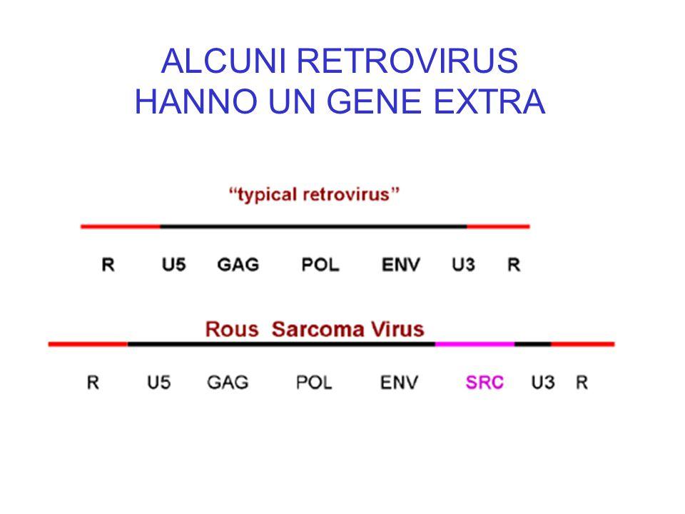 ALCUNI RETROVIRUS HANNO UN GENE EXTRA