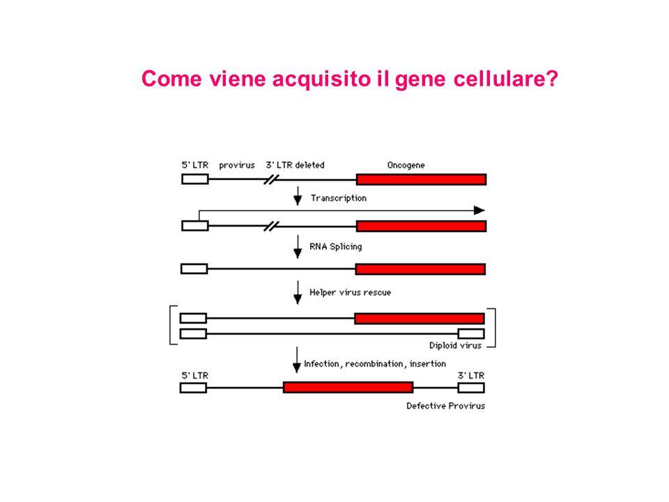 Come viene acquisito il gene cellulare?