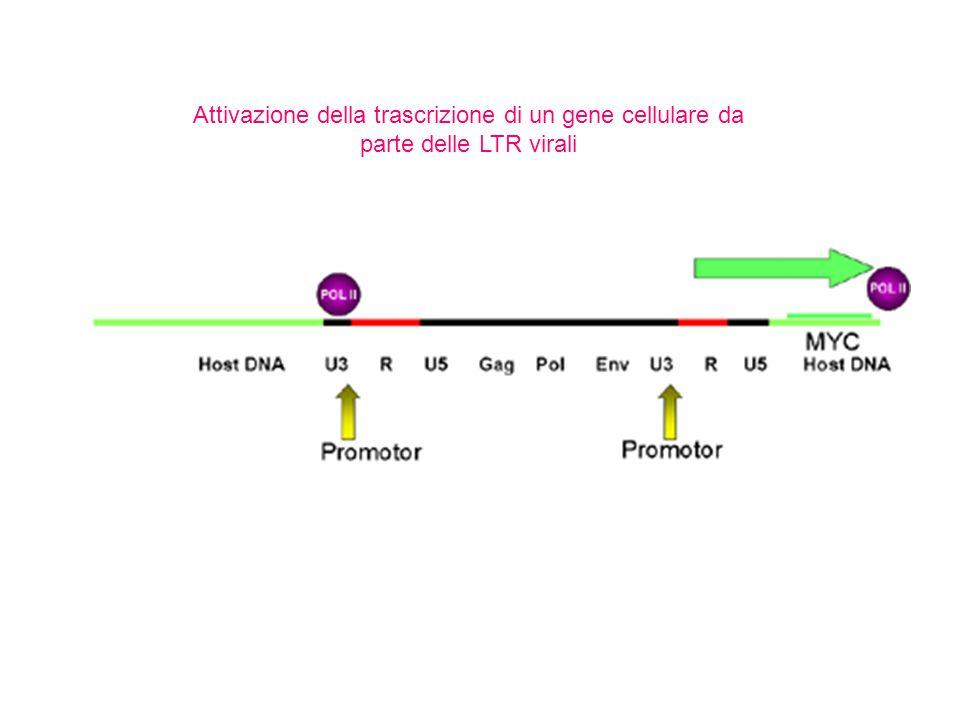 Attivazione della trascrizione di un gene cellulare da parte delle LTR virali