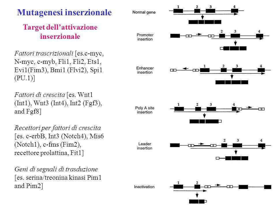 Target dell'attivazione inserzionale Fattori trascrizionali [es.c-myc, N-myc, c-myb, Fli1, Fli2, Ets1, Evi1(Fim3), Bmi1 (Flvi2), Spi1 (PU.1)] Fattori di crescita [es.