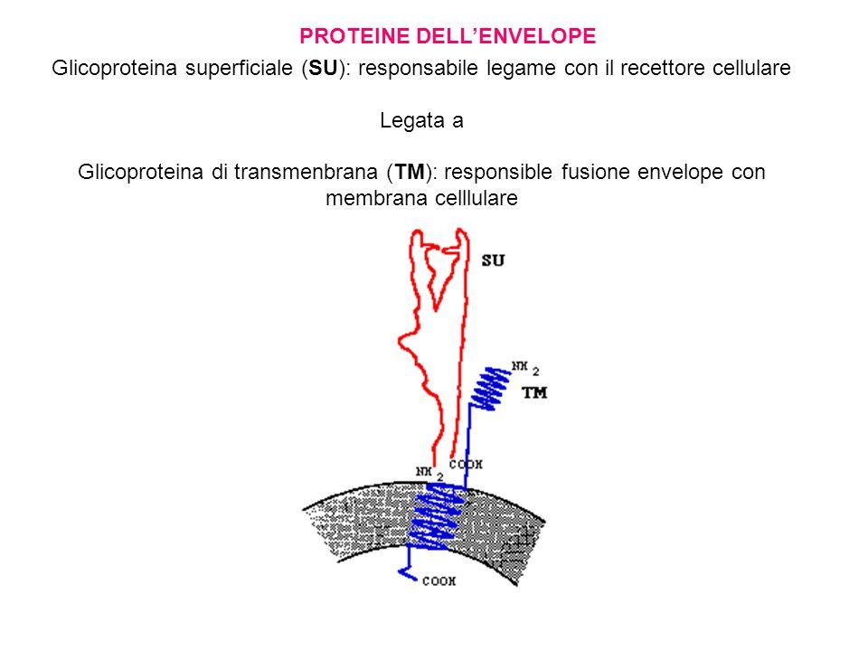 Glicoproteina superficiale (SU): responsabile legame con il recettore cellulare Legata a Glicoproteina di transmenbrana (TM): responsible fusione envelope con membrana celllulare PROTEINE DELL'ENVELOPE