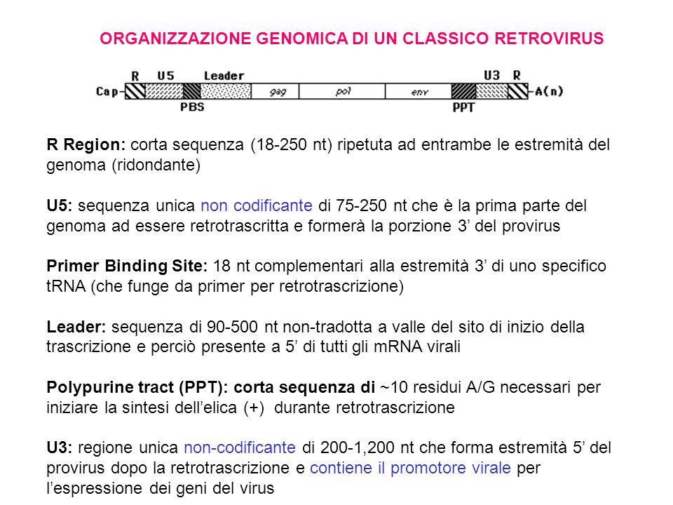 ORGANIZZAZIONE GENOMICA DI UN CLASSICO RETROVIRUS R Region: corta sequenza (18-250 nt) ripetuta ad entrambe le estremità del genoma (ridondante) U5: sequenza unica non codificante di 75-250 nt che è la prima parte del genoma ad essere retrotrascritta e formerà la porzione 3' del provirus Primer Binding Site: 18 nt complementari alla estremità 3' di uno specifico tRNA (che funge da primer per retrotrascrizione) Leader: sequenza di 90-500 nt non-tradotta a valle del sito di inizio della trascrizione e perciò presente a 5' di tutti gli mRNA virali Polypurine tract (PPT): corta sequenza di ~10 residui A/G necessari per iniziare la sintesi dell'elica (+) durante retrotrascrizione U3: regione unica non-codificante di 200-1,200 nt che forma estremità 5' del provirus dopo la retrotrascrizione e contiene il promotore virale per l'espressione dei geni del virus