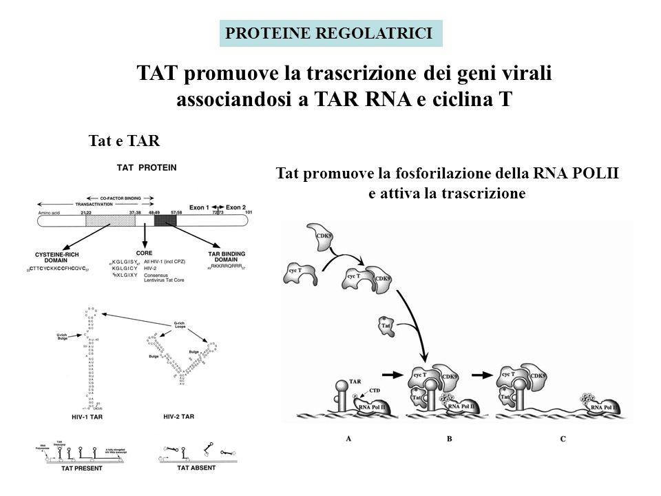 PROTEINE REGOLATRICI TAT promuove la trascrizione dei geni virali associandosi a TAR RNA e ciclina T Tat e TAR Tat promuove la fosforilazione della RNA POLII e attiva la trascrizione