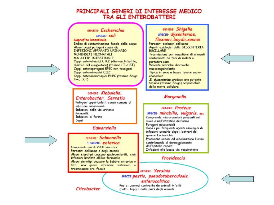 Le infezioni da E.coli O157 in Italia Il primo caso è stato descritto nel 1988 Attualmente l'Istituto Superiore di Sanità coordina il sistema di sorveglianza delle infezioni da E.coliO157 e da altri EHEC nell'ambito del progetto Enternet Oltre a E.coli O157 che risulta essere il sierogruppo prevalente, gli altri ceppi enteroemorragici diagnosticati frequentemente sono O26, O145 e O111.