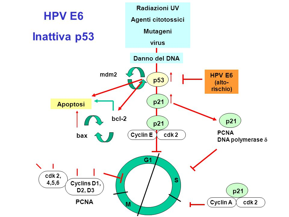 G2 M S G1 Radiazioni UV Agenti citotossici Mutageni virus Danno del DNA p53 p21 Cyclin Ecdk 2 mdm2 HPV E6 (alto- rischio) Apoptosi bax bcl-2 p21 PCNA