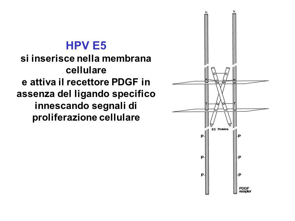 HPV E5 si inserisce nella membrana cellulare e attiva il recettore PDGF in assenza del ligando specifico innescando segnali di proliferazione cellular