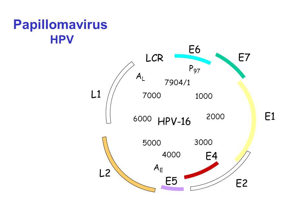 2000 3000 HPV-16 LCR E6 E7 E1 E2 E4 E5 L2 L1 ALAL P 97 AEAE 1000 4000 5000 6000 7000 7904/1 Papillomavirus HPV