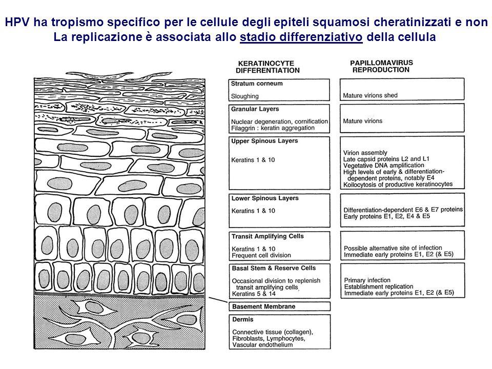 HPV ha tropismo specifico per le cellule degli epiteli squamosi cheratinizzati e non La replicazione è associata allo stadio differenziativo della cel