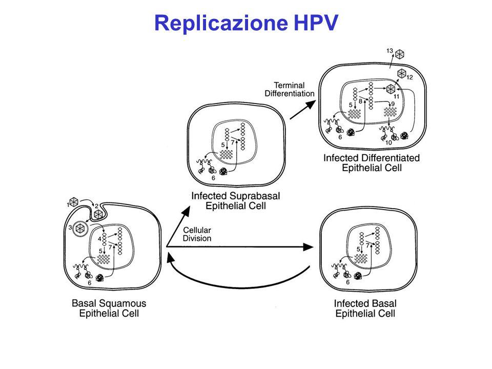 subclinica Lesione intraepiteliale squamosa (low-grade) Lesione intraepiteliale squamosa (high grade) Carcinoma invasivo metastasi Fattori mutageni Derivati estrogeni Instabilità genomica per aumentata espressione dei geni virali Aumentata espressione e replicazione DNA virale Infezione Persistenza DNA virale Modificazioni di geni cellulari Integrazione genoma virale Mutazioni geni cellulari HPV (alto rischio) e Patogenesi carcinoma cervicale