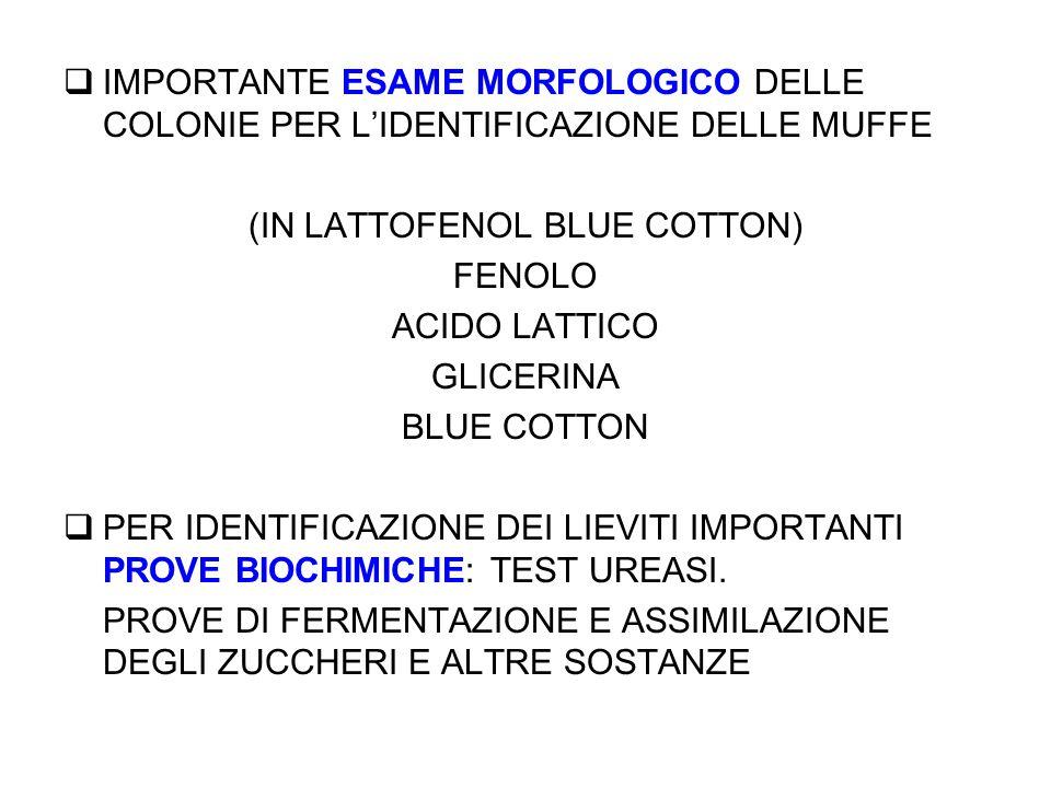  IMPORTANTE ESAME MORFOLOGICO DELLE COLONIE PER L'IDENTIFICAZIONE DELLE MUFFE (IN LATTOFENOL BLUE COTTON) FENOLO ACIDO LATTICO GLICERINA BLUE COTTON  PER IDENTIFICAZIONE DEI LIEVITI IMPORTANTI PROVE BIOCHIMICHE: TEST UREASI.