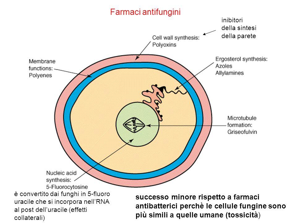 Farmaci antifungini successo minore rispetto a farmaci antibatterici perchè le cellule fungine sono più simili a quelle umane (tossicità) inibitori della sintesi della parete è convertito dai funghi in 5-fluoro uracile che si incorpora nell'RNA al post dell'uracile (effetti collaterali)