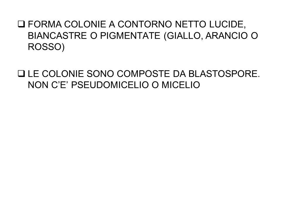 FORMA COLONIE A CONTORNO NETTO LUCIDE, BIANCASTRE O PIGMENTATE (GIALLO, ARANCIO O ROSSO)  LE COLONIE SONO COMPOSTE DA BLASTOSPORE.