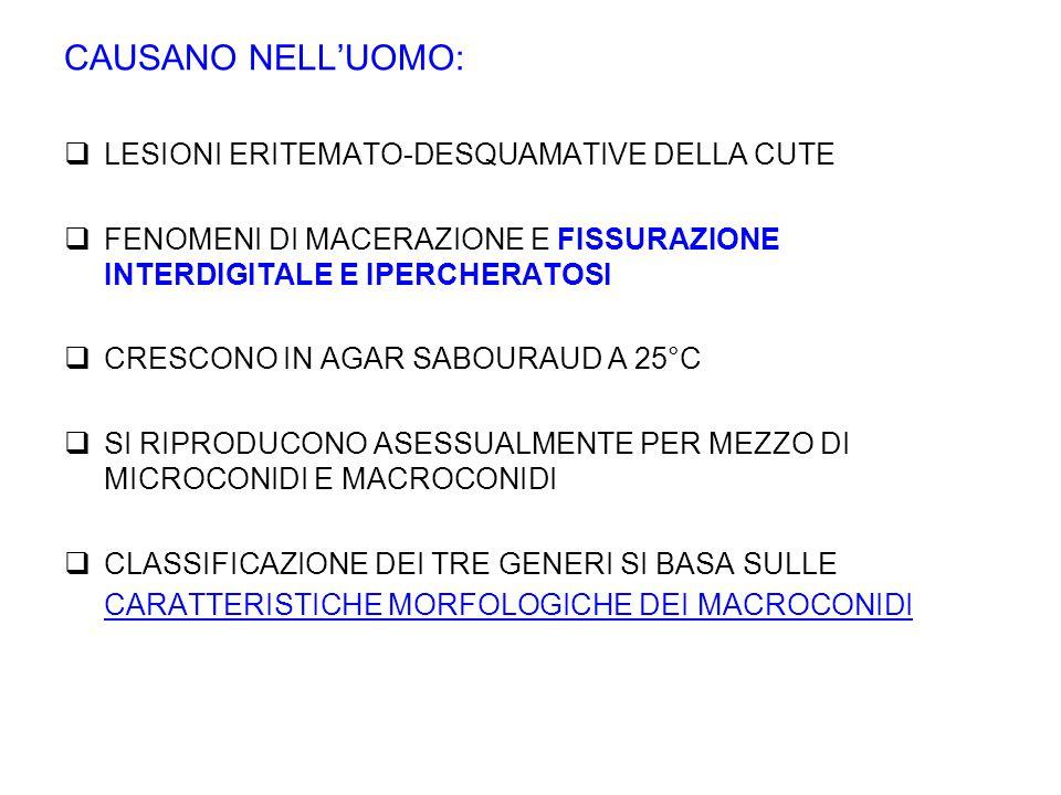 CAUSANO NELL'UOMO:  LESIONI ERITEMATO-DESQUAMATIVE DELLA CUTE  FENOMENI DI MACERAZIONE E FISSURAZIONE INTERDIGITALE E IPERCHERATOSI  CRESCONO IN AGAR SABOURAUD A 25°C  SI RIPRODUCONO ASESSUALMENTE PER MEZZO DI MICROCONIDI E MACROCONIDI  CLASSIFICAZIONE DEI TRE GENERI SI BASA SULLE CARATTERISTICHE MORFOLOGICHE DEI MACROCONIDI