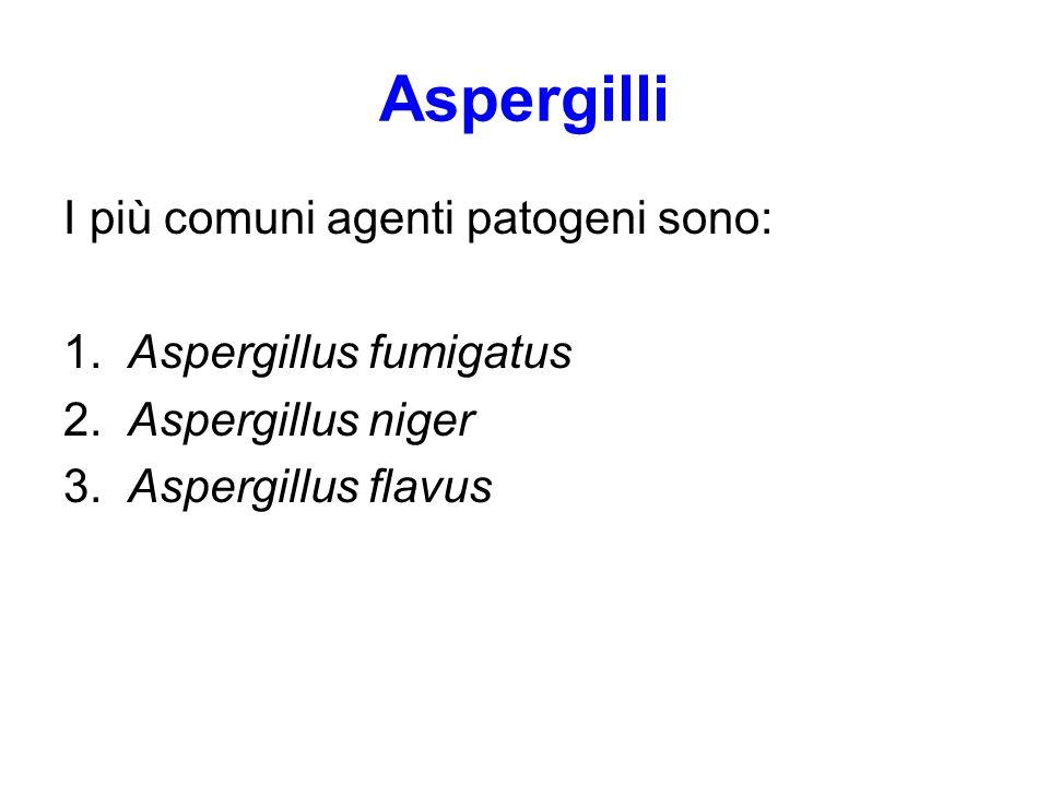 Aspergilli I più comuni agenti patogeni sono: 1.Aspergillus fumigatus 2.