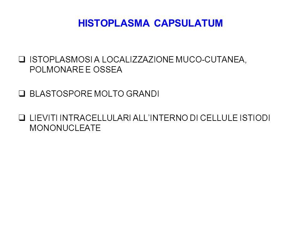 HISTOPLASMA CAPSULATUM  ISTOPLASMOSI A LOCALIZZAZIONE MUCO-CUTANEA, POLMONARE E OSSEA  BLASTOSPORE MOLTO GRANDI  LIEVITI INTRACELLULARI ALL'INTERNO DI CELLULE ISTIODI MONONUCLEATE