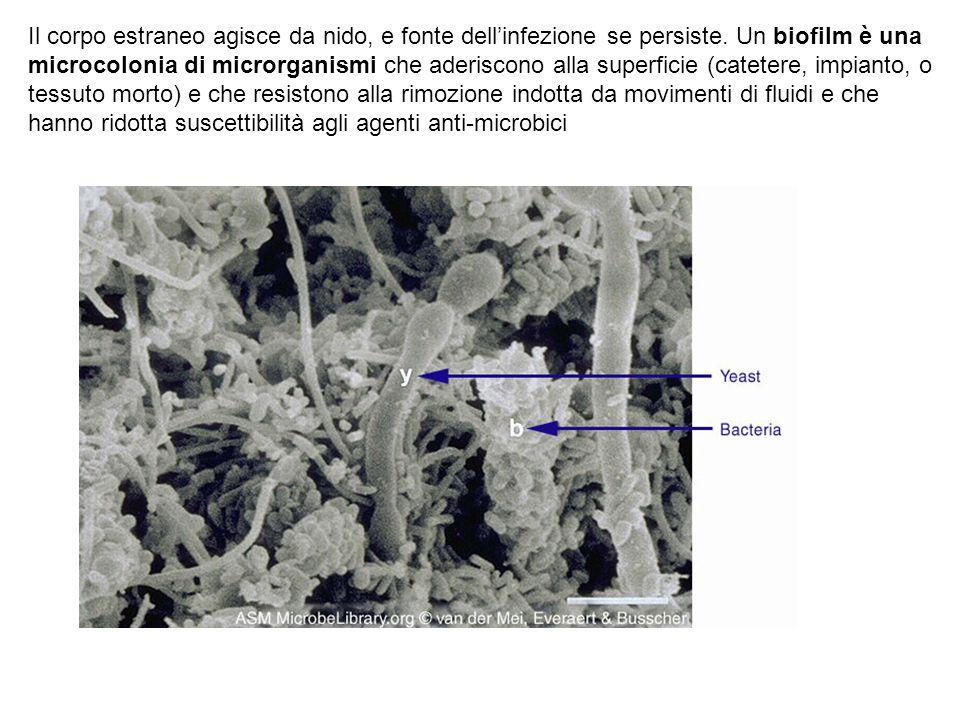 Il corpo estraneo agisce da nido, e fonte dell'infezione se persiste. Un biofilm è una microcolonia di microrganismi che aderiscono alla superficie (c