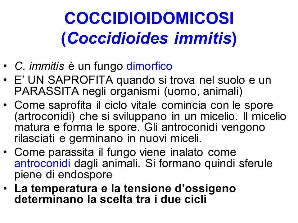 COCCIDIOIDOMICOSI (Coccidioides immitis) C. immitis è un fungo dimorfico E' UN SAPROFITA quando si trova nel suolo e un PARASSITA negli organismi (uom