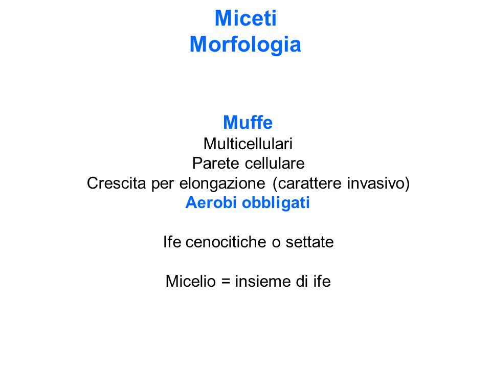 Miceti Morfologia Muffe Multicellulari Parete cellulare Crescita per elongazione (carattere invasivo) Aerobi obbligati Ife cenocitiche o settate Micel